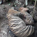 BKSDA Aceh: Kematian 3 Harimau Sumatera Akibat Infeksi Jerat Kumparan Kawat
