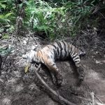 Tiga Ekor Harimau Sumatera Mati Akibat Jerat