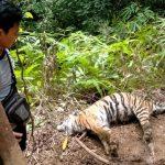 BKSDA Aceh Terkesan Menutupi Matinya 3 Ekor Raja Rimba Yang Paling Dilindungi